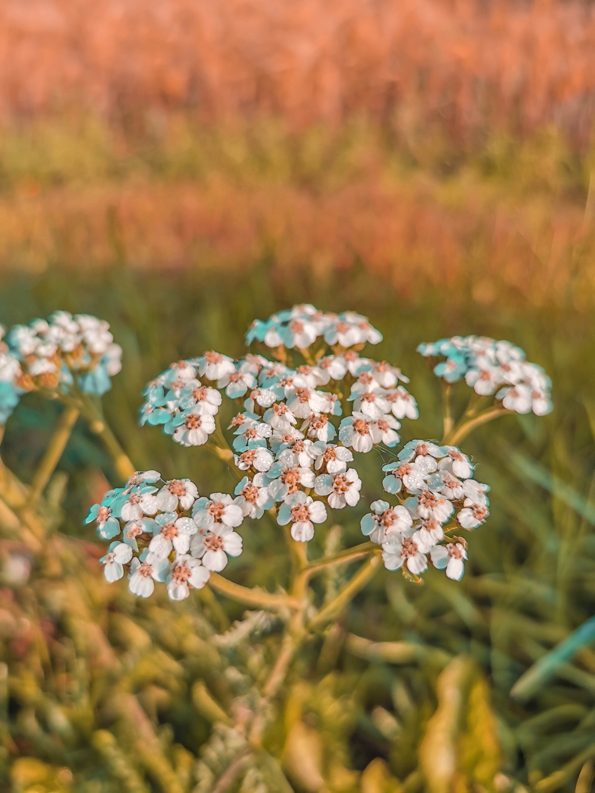 achillea_millefolium_2.jpg