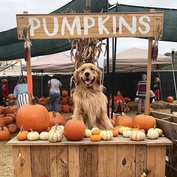 AUTUMN for president. ⚫︎ Cold nights ⚫︎ Big wooly jumpers (without the wool♥︎🐑♥︎) ⚫︎ piles of orange leaves to kick⚫︎ Gingerbread lattes ⚫︎Decorating pumpkins ⚫︎ big fat chilli ⚫︎Pumpkin soup ⚫︎ roaring fires ⚫︎ country walks ⚫︎ Pub roast dinners ⚫︎HALLOWEEN ⚫︎ 🍁🎃👻🍂🔥👹☠️🎃💀🍂👻👁👩🏽🌾🧛🏾♂️🎃🧟♀️🍁🧙🏾♀️🧙🏼♂️🎃🌚✨🍷🍾🍹🍸🍻🎃Can you guess I love this time of year? 😊Who else loves Autumn!!!!! ☝🏽