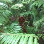 """Ponga fern with """"koru"""""""