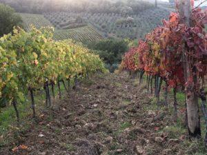 Ammirabile vineyard
