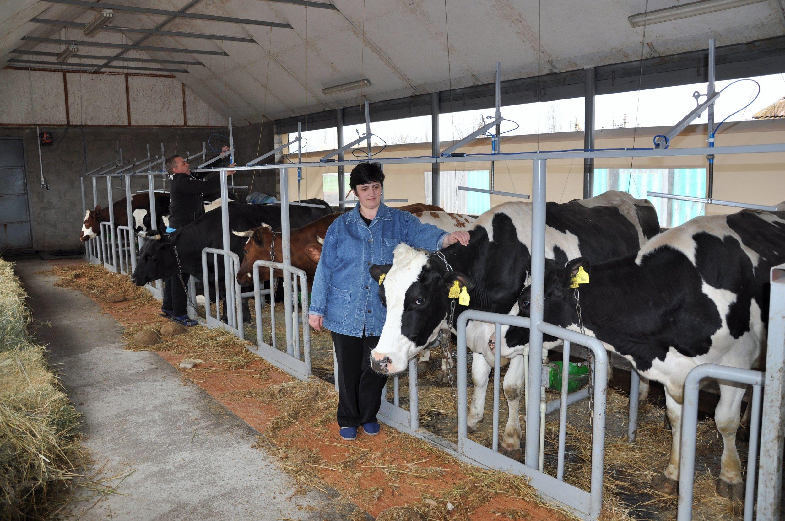 Coop Cows.jpg