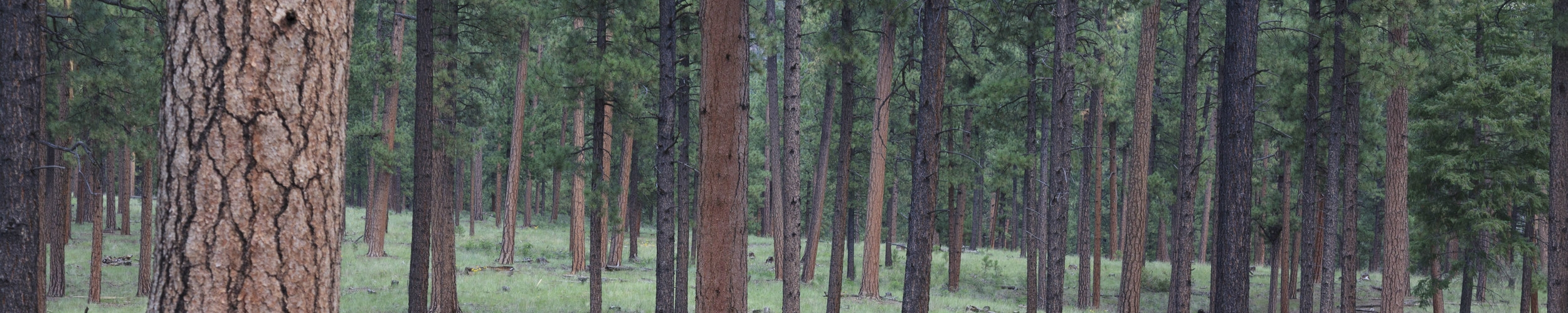 Healthy ponderosa pine forest_Jemez (c) Alan Eckert Photography.jpg
