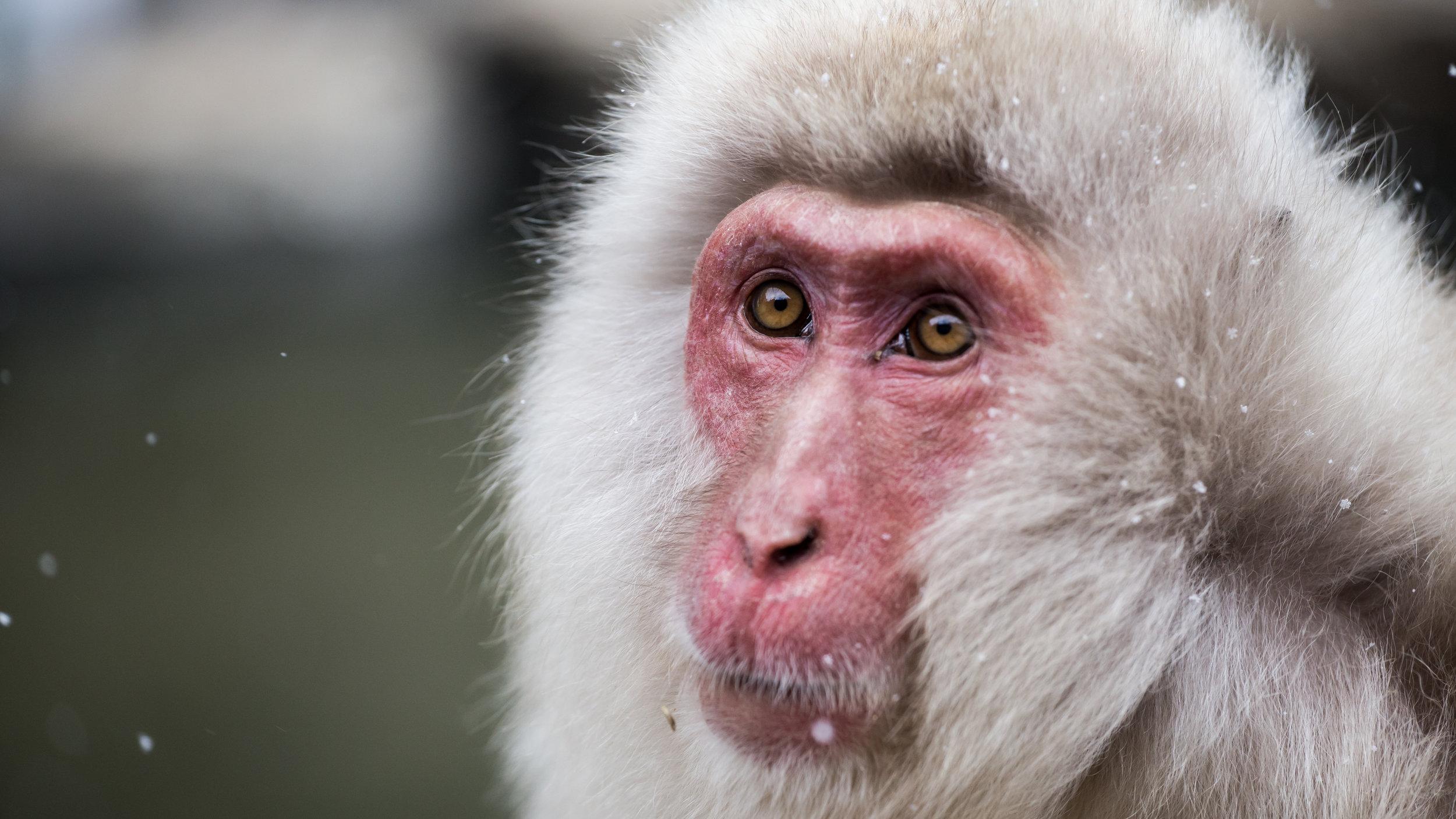 Snow Monkey at Jigokudani Monkey Park