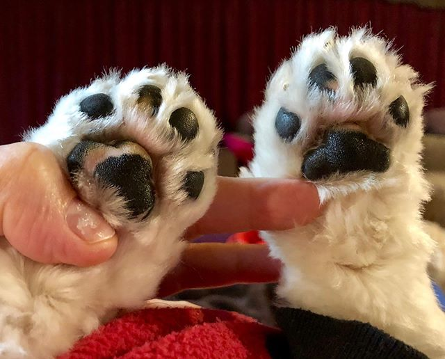 Paws up Friday 🐶🐾. The most divine little paddy paws - Penny 💕