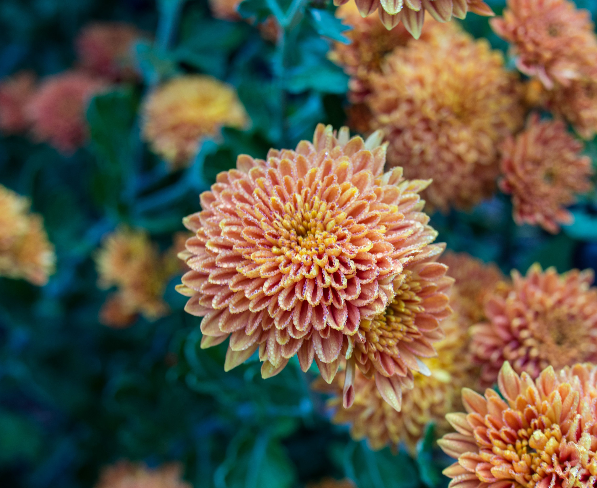 Chrysanthemum 'Coppersmith', 2017