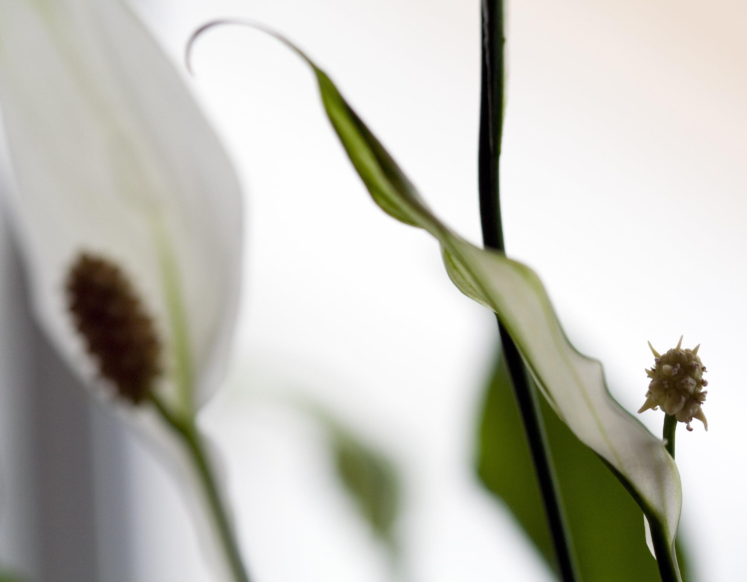uwm.plants.peacelily