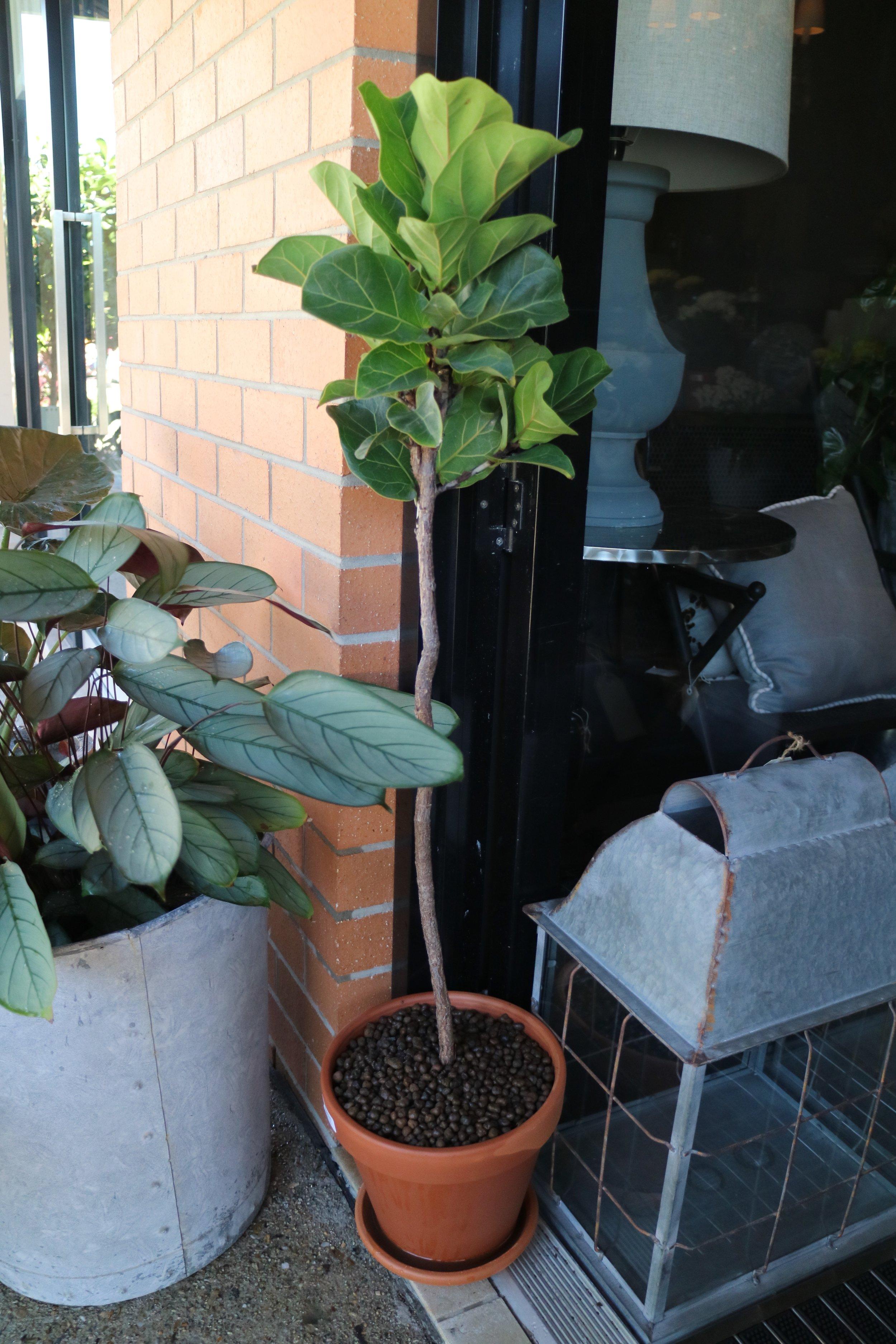 Ficus standards