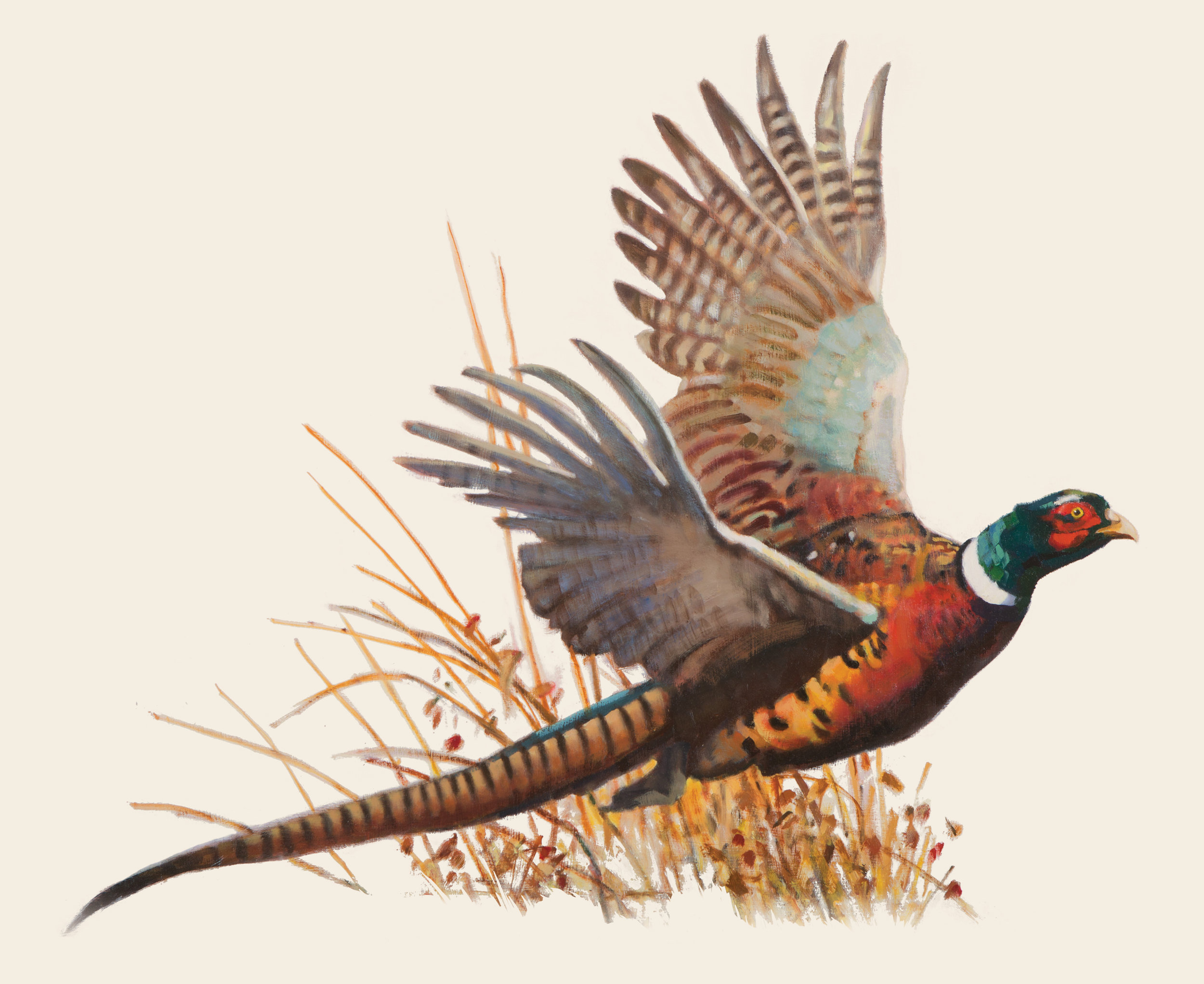 BirdmanPheasant_illustration.jpg