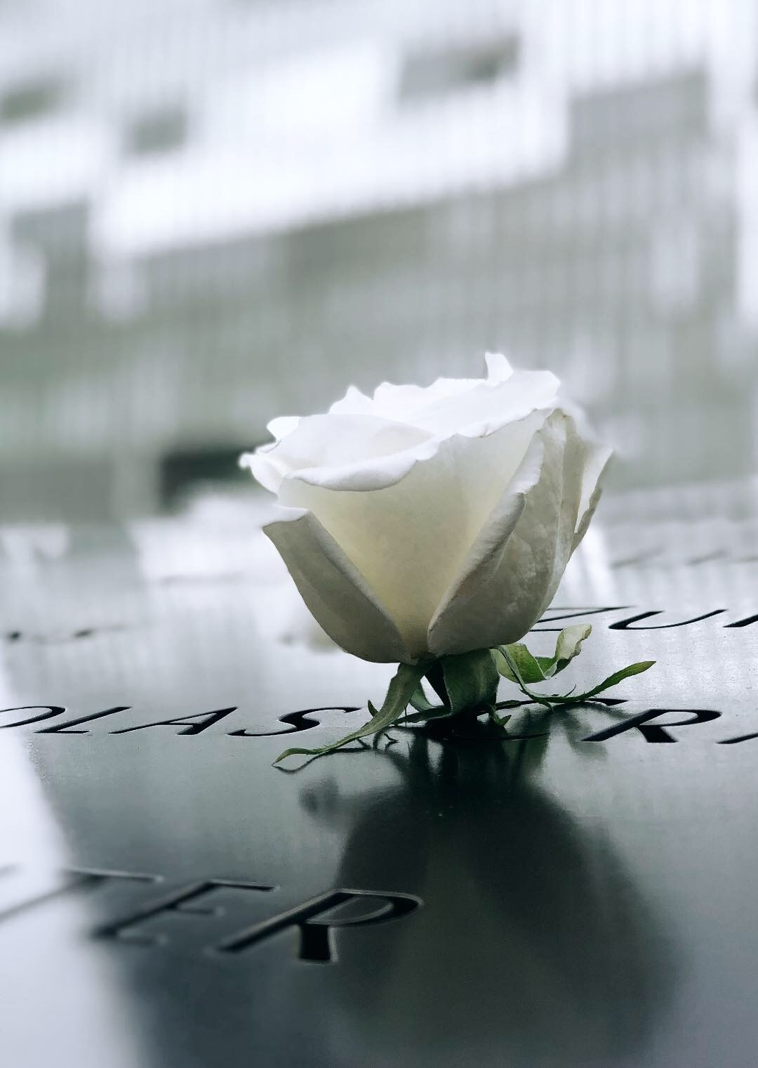 A white rose at the 9/11 Memorial North Pool.
