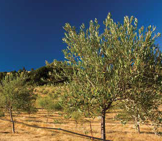 olive-trees-low-res.PNG