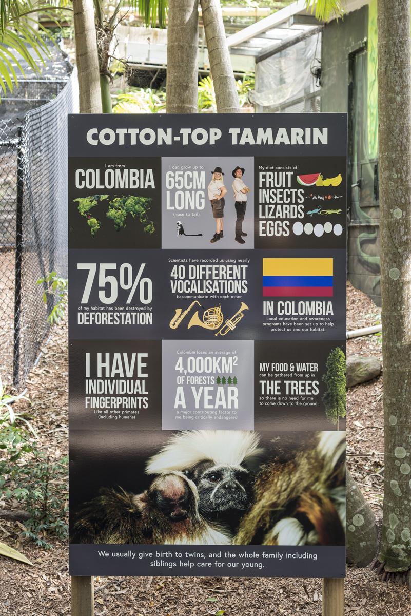 Cotton top tamarin large oversize interp near the monkeys at currumbin wildlife sanctuary
