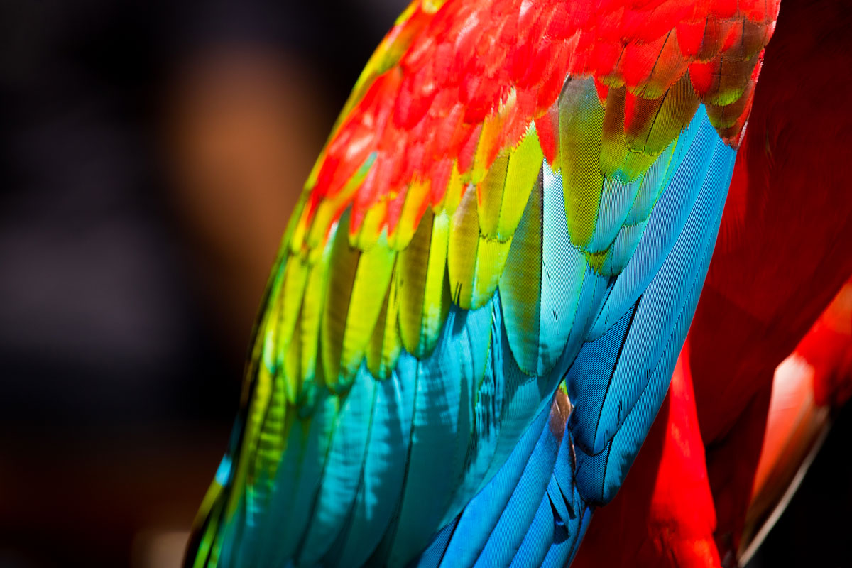 Beautiful macaw feathers showing a variety of rainbow colours with the trainers from Currumbin Wildlife Sanctuary's Lost Valley