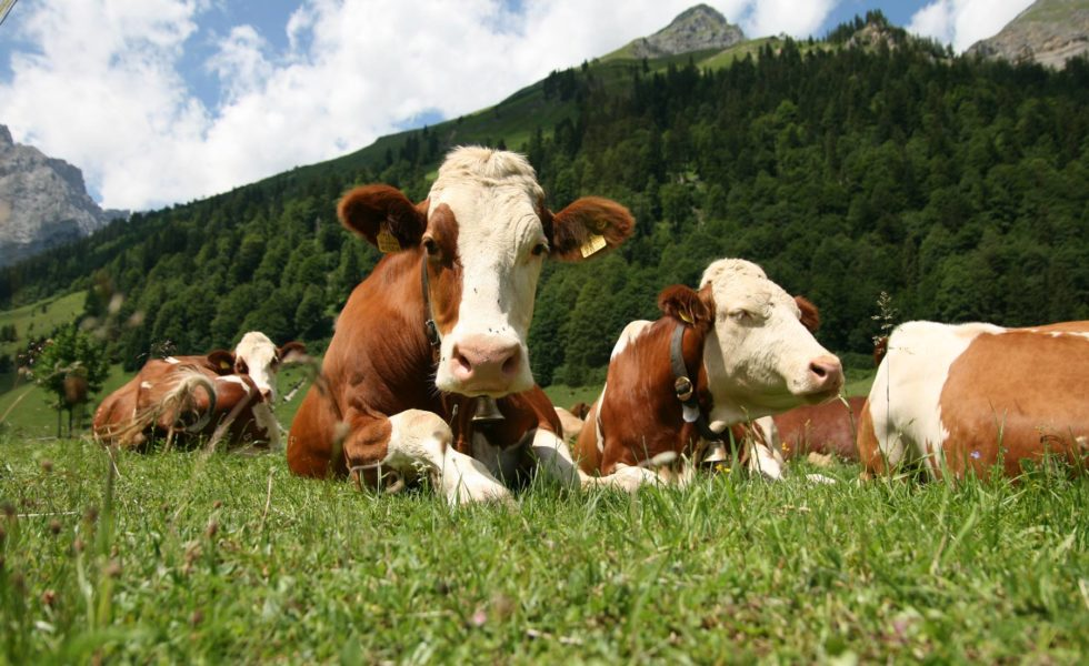 cattle-in-mountains-980x600.jpg