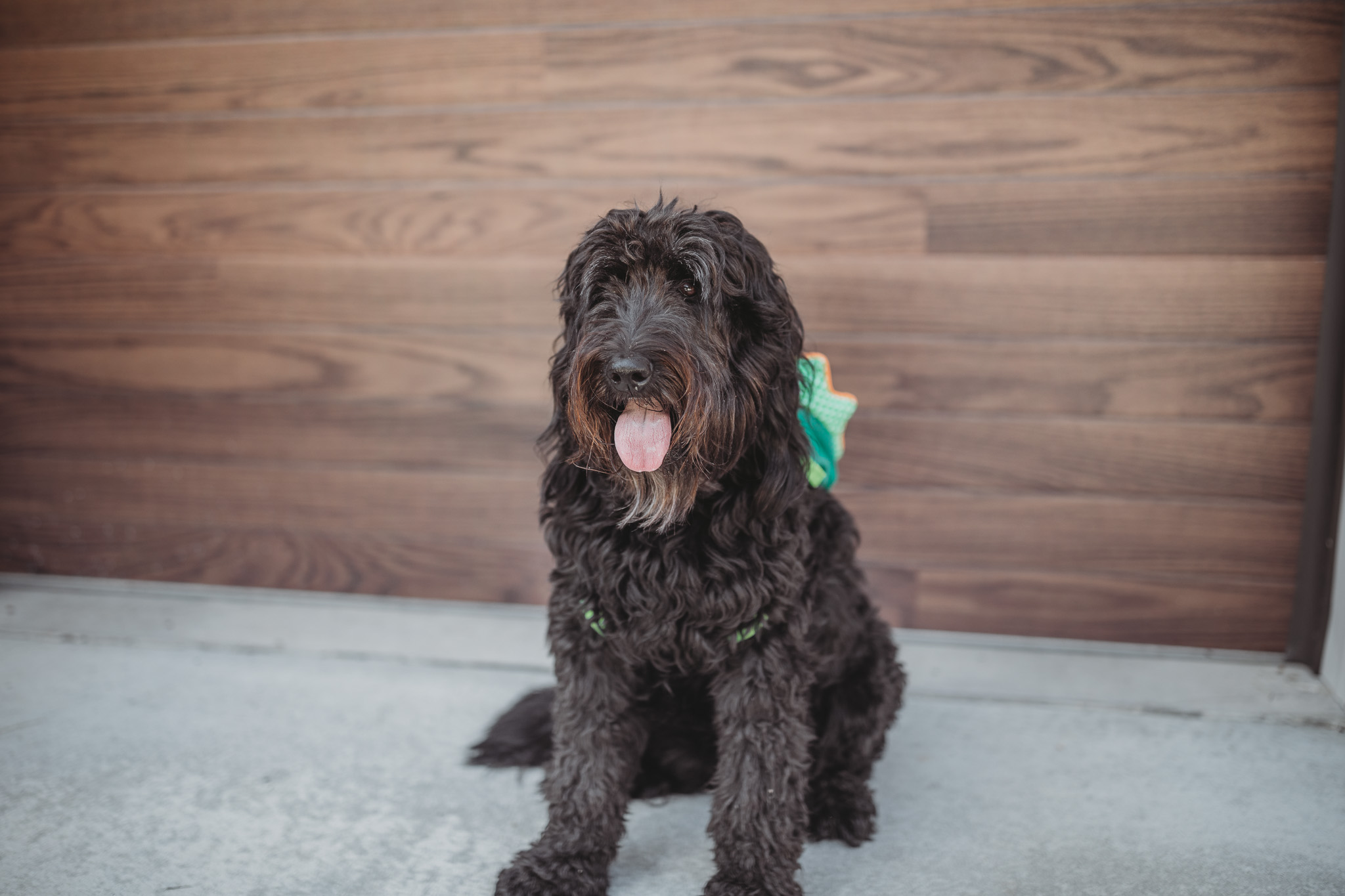 black goldendoodle dog
