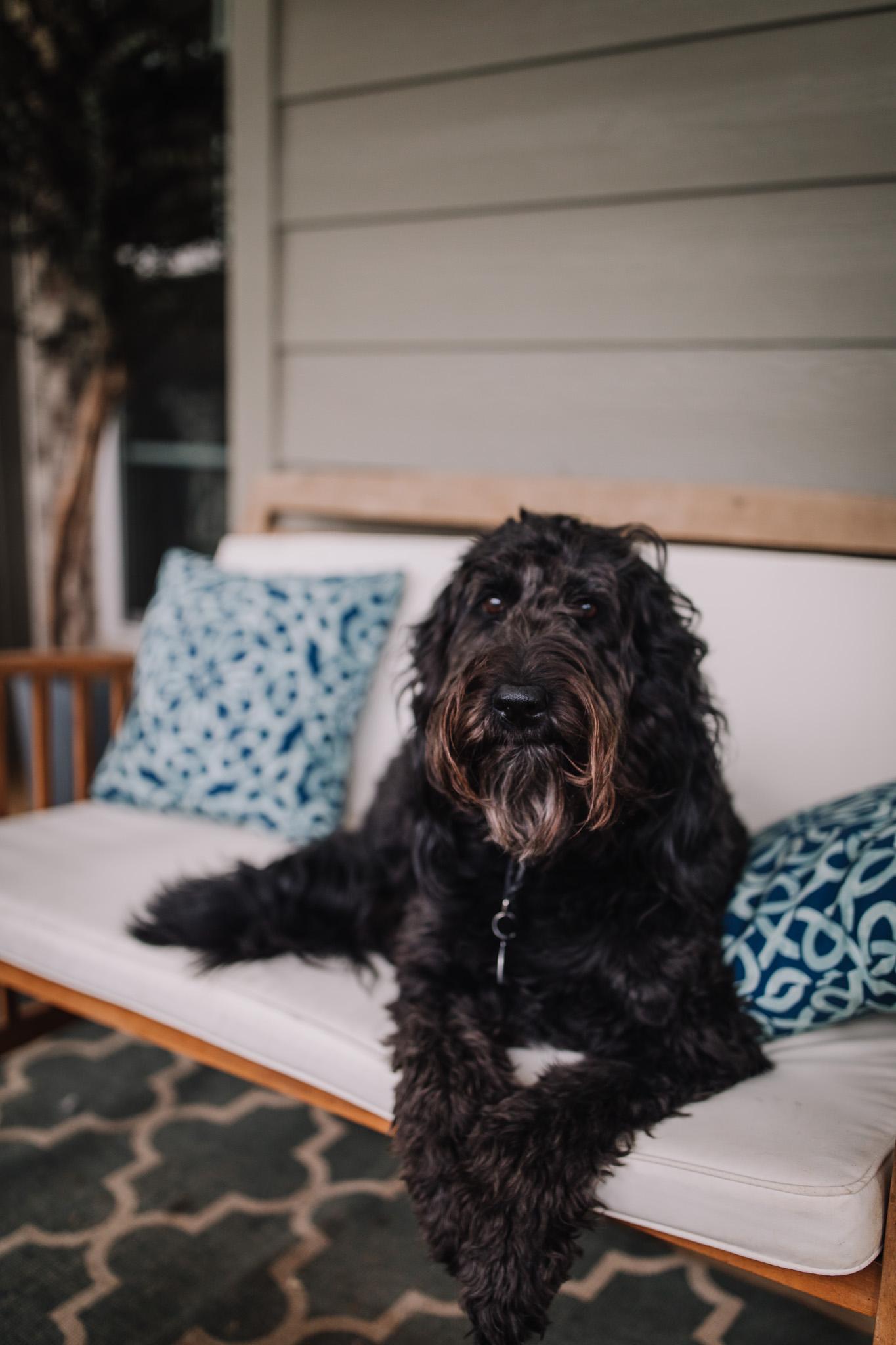 black goldendoodle dog sitting