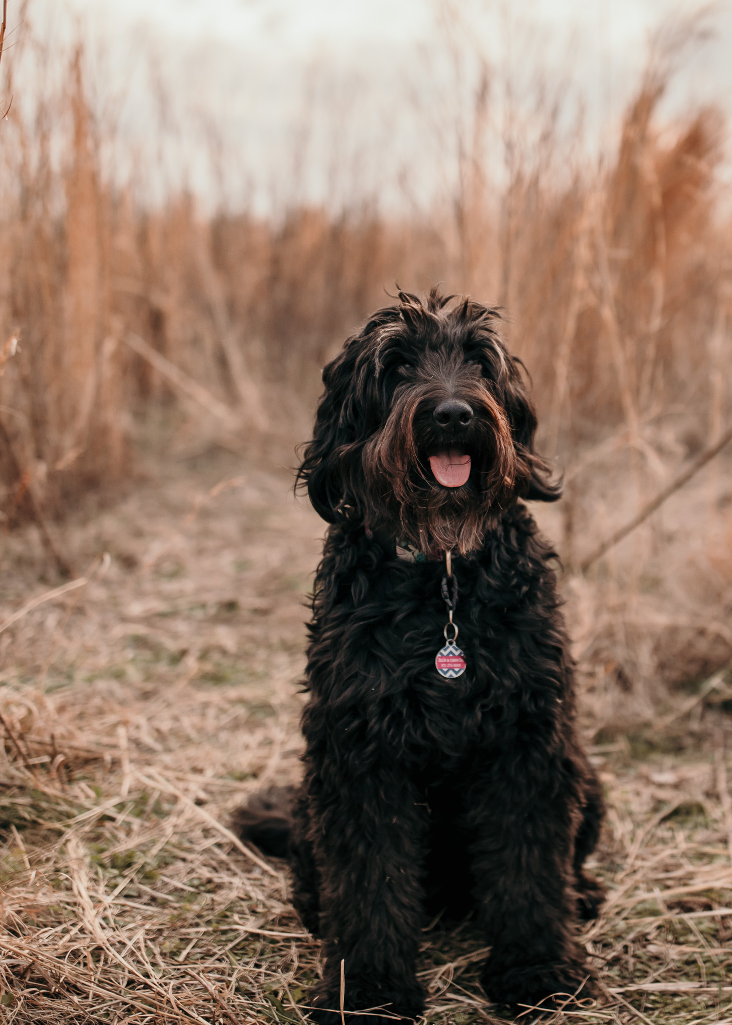 Goldendoodle in Field