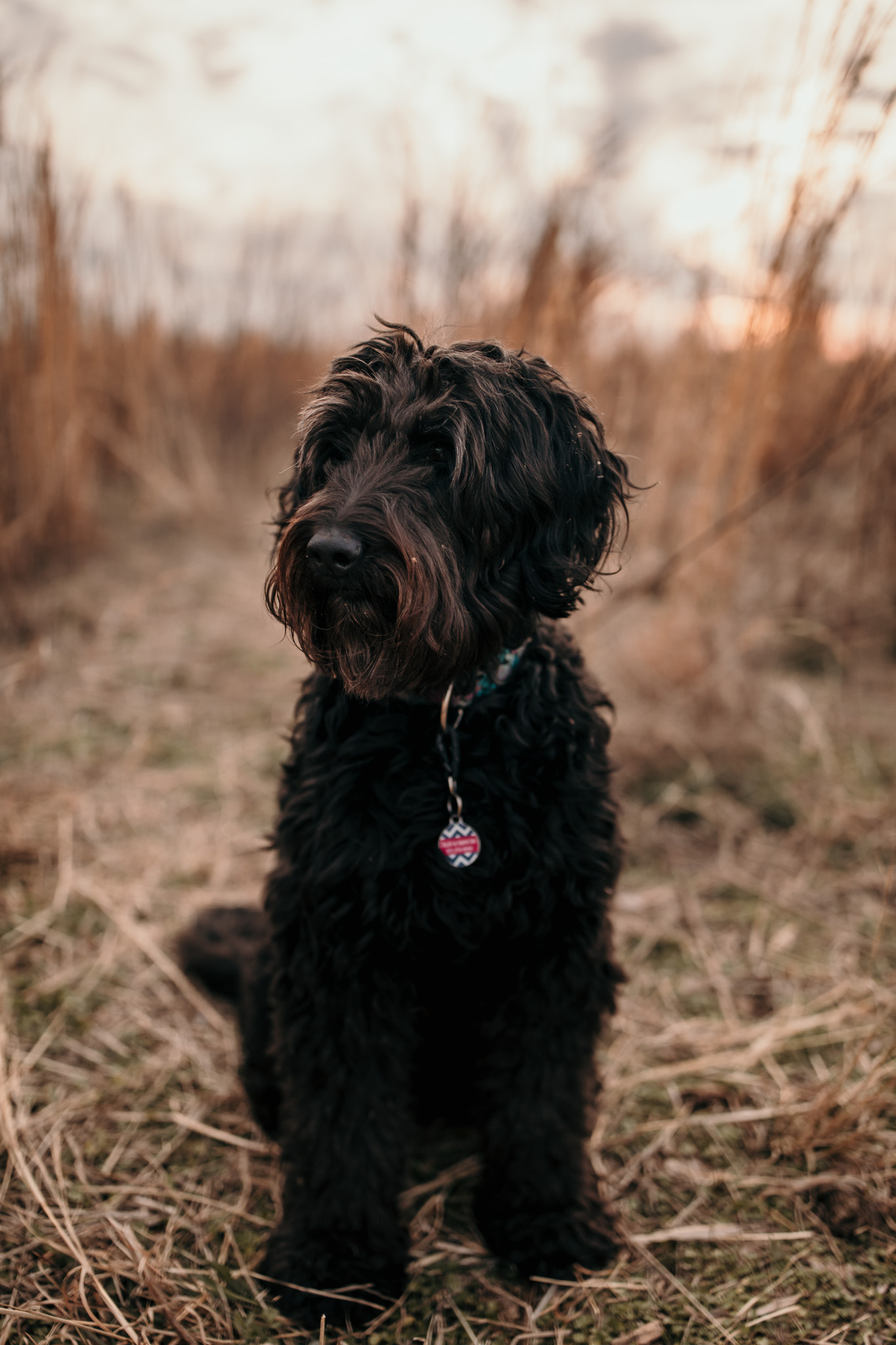 Goldlendoodle Sitting in Field