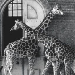 Giraffs.'86Web.jpeg