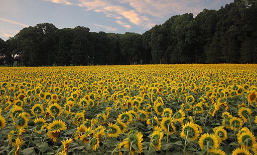 by-david-smith-flickr-sunflowers-for-wishes-cc-by-2-0-httpcreativecommons-orglicensesby2-0-via-wikimedia-commons.jpg