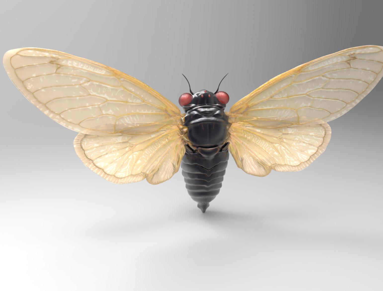 Male Cicada