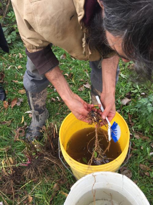 pete scrubbing roots.jpg