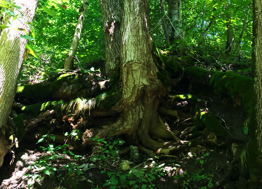 tree roots shed brook.jpg