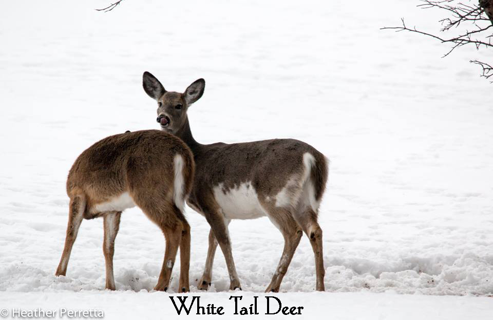 white tail by heather.jpg