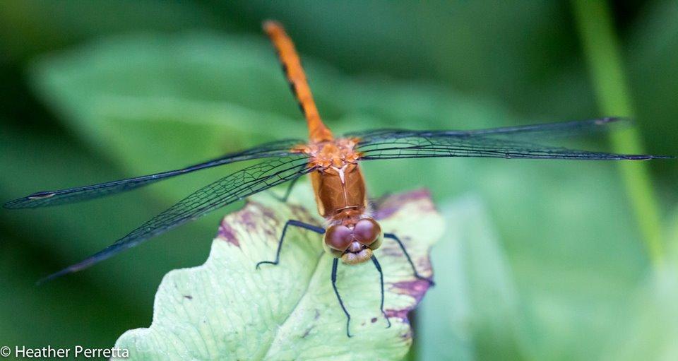 dragon fly by heather.jpg