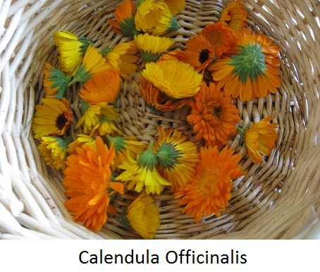 calenula high res(1).jpg