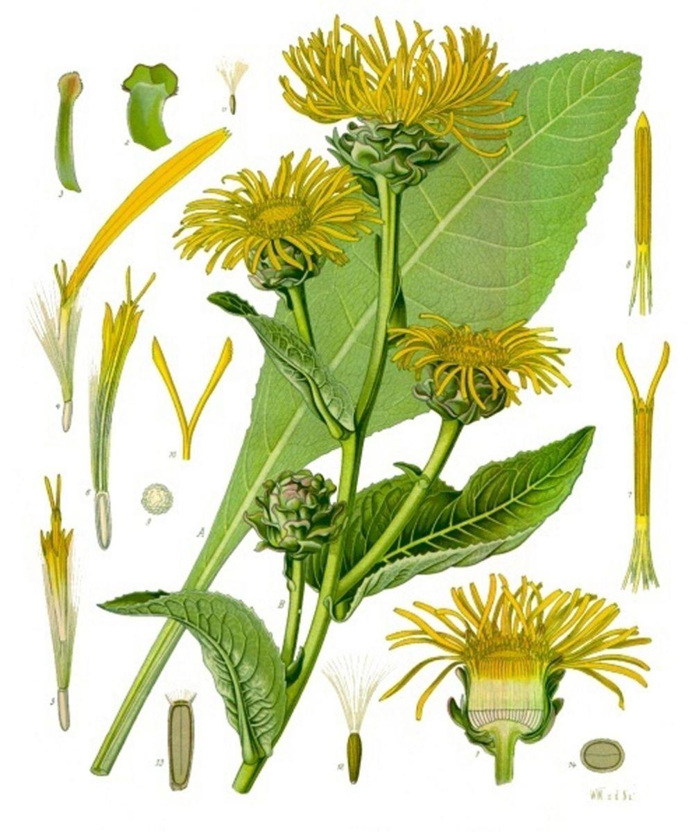 Inula_helenium_-_Köhler–s_Medizinal-Pflanzen-210.jpg
