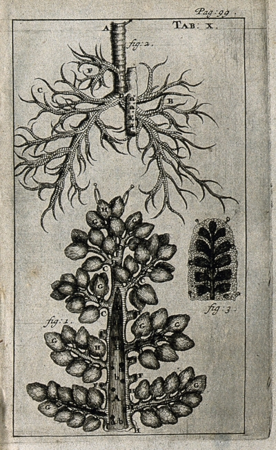 The_lungs_and_trachea_(windpipe)._Engraving,_1686._Wellcome_V0007781EL.jpg