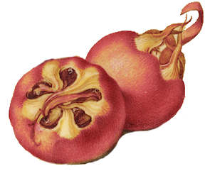 pomegrante.png