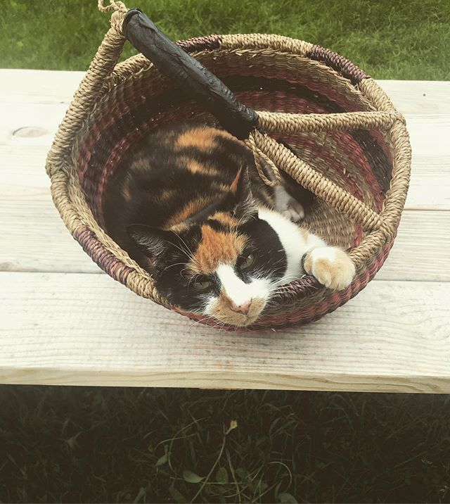 I walk away for one minute and someone sneaks into my basket...... . . . #catsofinstagram #calicocat #gathering #myfamiliar #hedgewitch #farmhouselife