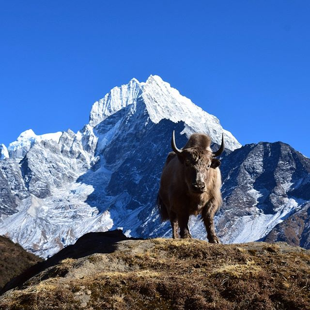 Yak facts: Yaks remain an important source of food, wool, and transportation in the Khumbu. Their droppings can also be used for fuel high in the mountains where kindling and firewood are scarce. Oh boy, I could yak about yaks all day!