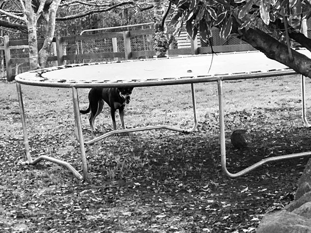 It's trampoline time! 😍⠀ ⠀ #whynotadopt #community #education #resources #support #love #dogs #dogsofinstagram #rescuedog #rescuedogs #rescuedogsofinstagram #rescuedogsofmelbourne #adopt #adoptadog #foster #fosteradog #volunteer  #trampoline #play