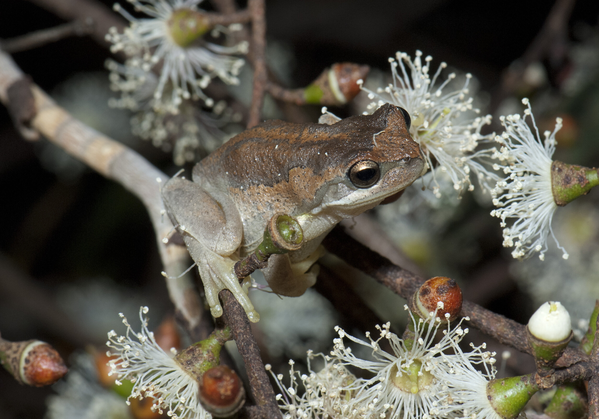 Frogs and Bushfire is one of the stories in the online Collections and Climate Change Project. Source: Museums Victoria. Photographer: David Paul.