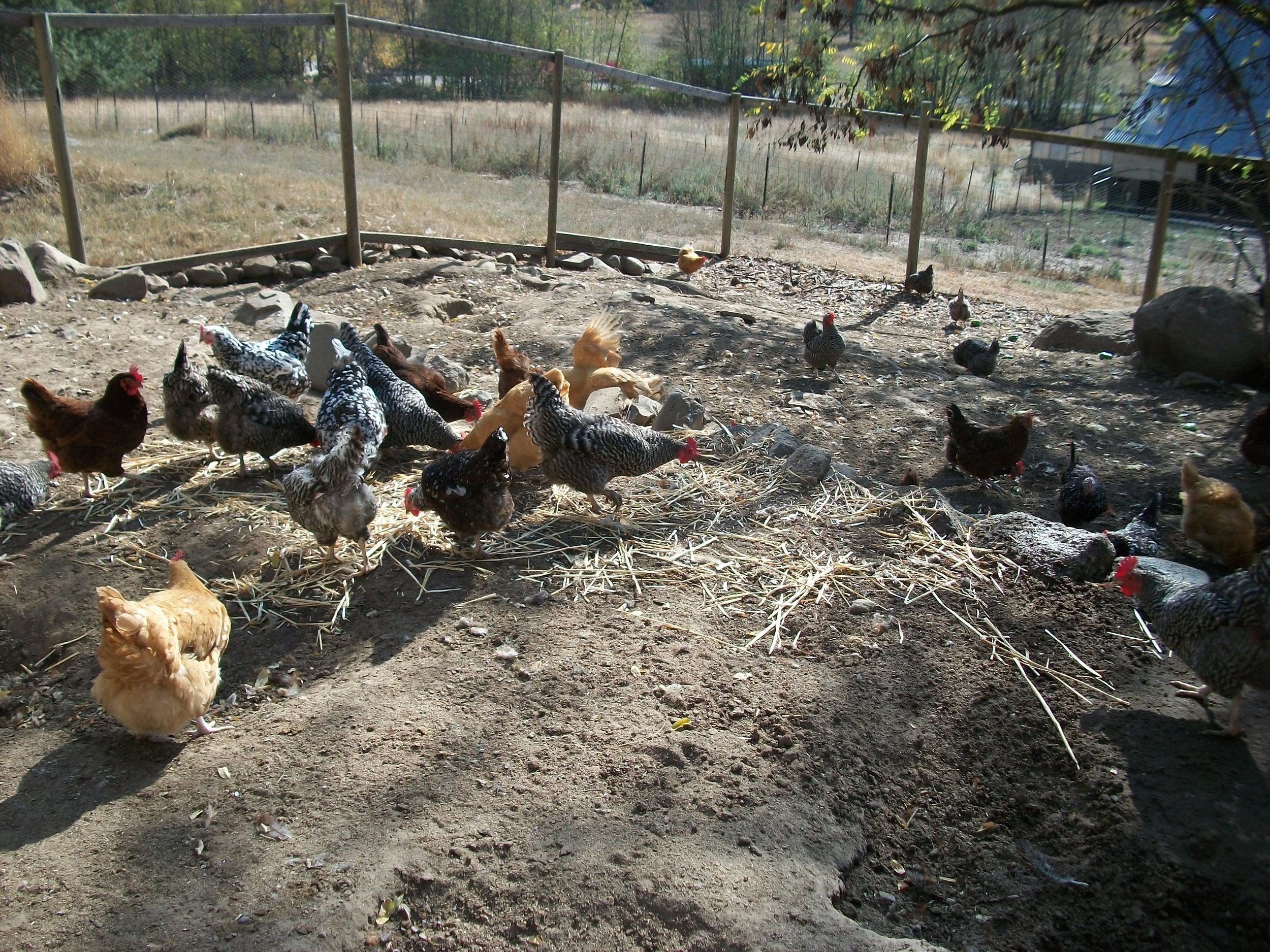 Part of our flock of laying hens