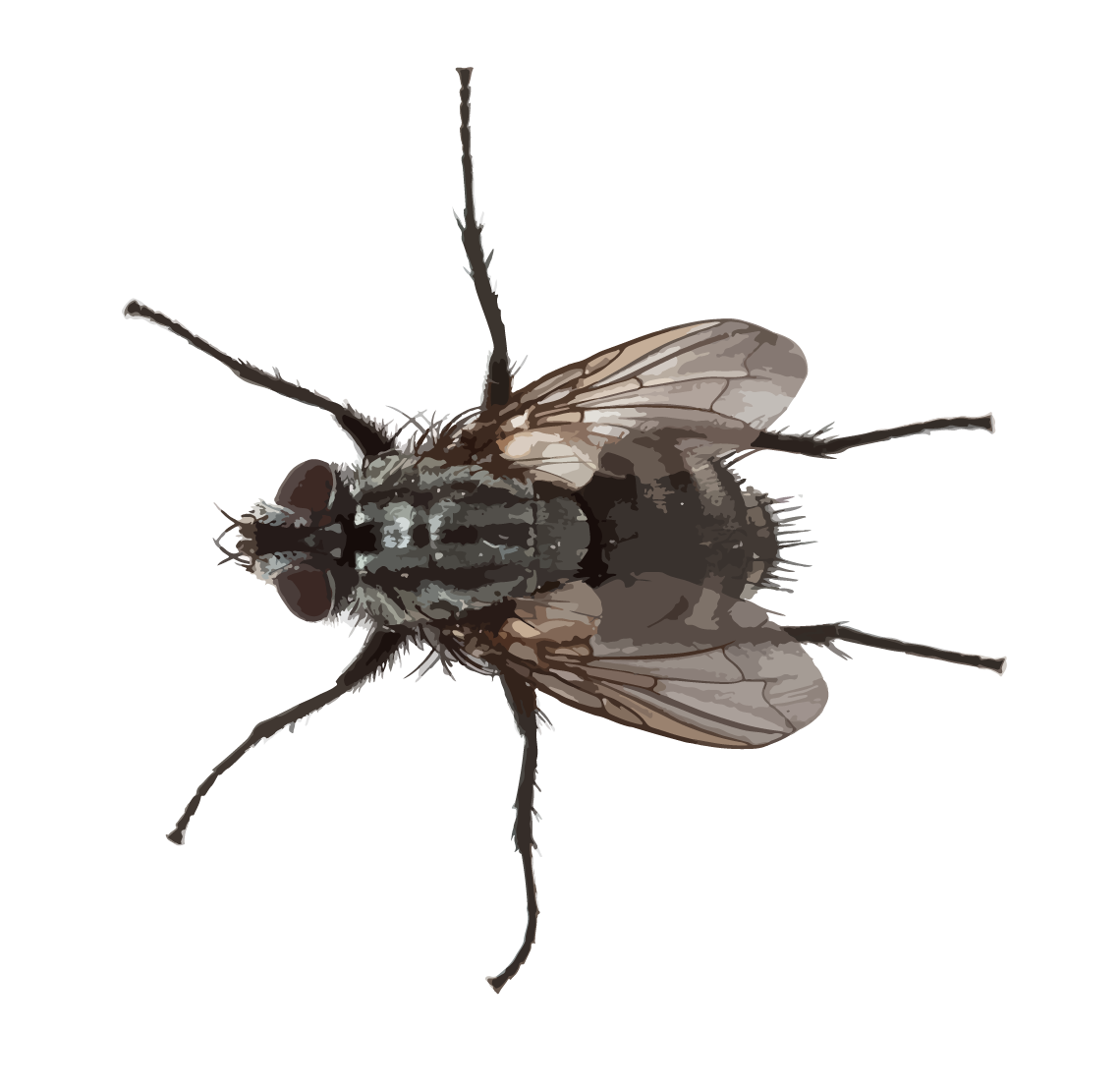 Flying Pests - Texas attracts many varieties of flies, all of which we can help you eliminate. We have seen many homes with small flies like gnats or fruit flies, they are frequently drain flies. The adult cluster fly is about 3/8″ long, slightly larger than the common house fly. Their coloration is a non-metallic, dark gray. The thorax lacks distinct stripes and has numerous short golden hairs. The abdomen has irregular lighter areas. Adult fruit flies are 1/8″ long and yellow-brown to dark brown. Some species have distinctive red eyes, and the wings have two breaks in the leading edge nearest the body. The larvae are small and very distinctive with an extended, stalk-like breathing tube at the rear of the body.