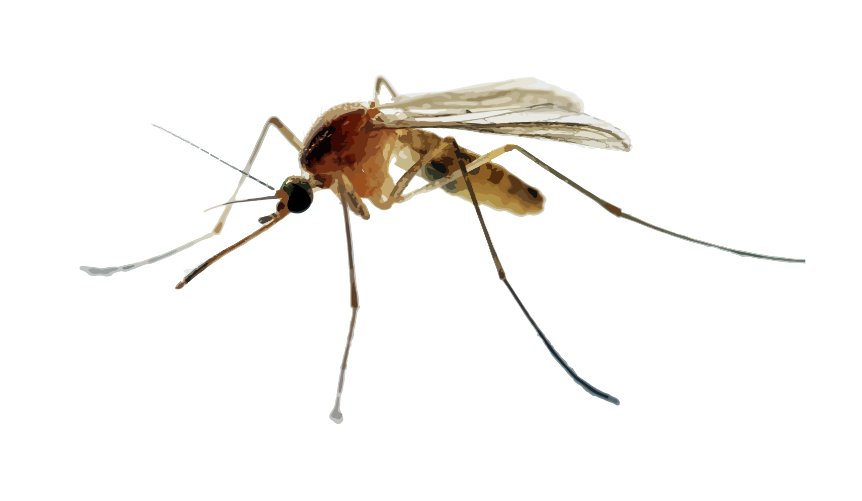 - Visual Description: slender, long-legged, winged insects with long, piercing mouthparts.Size: 1/8″ – 1/4″ longHabitat: Mosquito larvae are aquatic meaning the adults will stay within a few miles to a few hundred feet from a water source during its lifespan, depending on the species. Water sources range from saltwater marshes to anything bigger than a thimble left out on the side of your house. Once matured, adults will rest in shady areas protected from the wind including vegetation, patios and front entryways.Food: Female mosquitoes require the protein from blood to reproduce. An average mosquito blood-meal can take 1-4 ml of blood which can be 2.5 times the mosquitoes unfed weight.How did they get in my house?: Typical entry points are through windows or doorways especially as doors are pulled open bringing in outside air, and anything flying through it.Reproduction: A single female mosquito may produce 500 to 5000 eggs in its lifetime, half of them being female. The entire development cycle, egg to adult, takes only 10 to 16 days.Danger Level: Mosquito bites can cause itchy, red bumps. More than an outdoor nuisance, mosquitoes are a concern to public health as vectors for malaria, encephalitis, West Nile virus, yellow fever, chikungunya and zika.