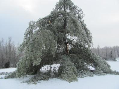 pinetreeicedamageblogb2014.jpg