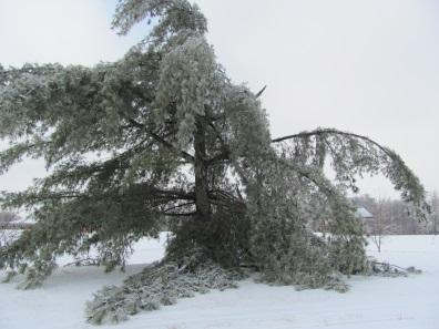 pinetreeicedamageblogc2014