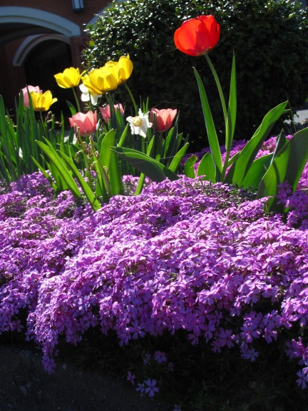 tulipcreepingphloxblog2015.jpg