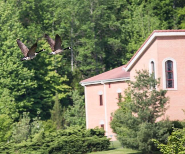 monastery-geese-flyby1blog2015.jpg