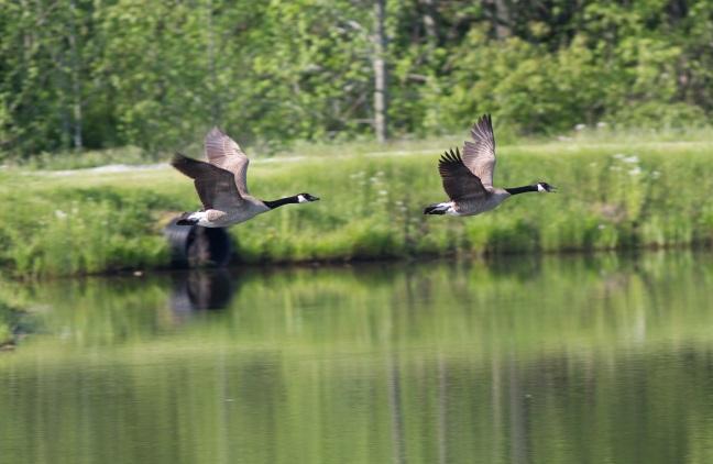 monastery-geese1blog2015.jpg