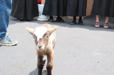 Meet Eva the little orphan lamb