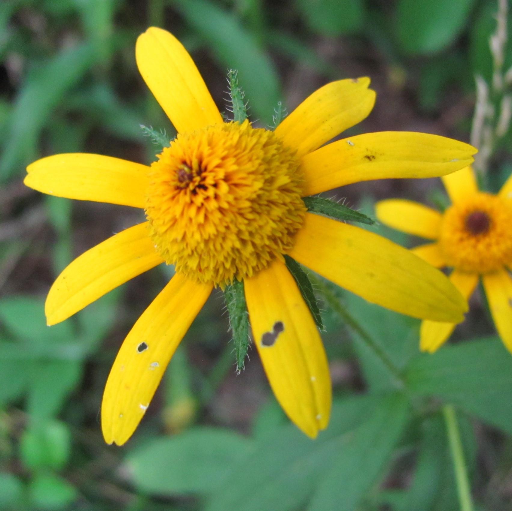 yellowdaisy.JPG