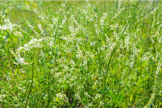 white_sweet_clover_small.jpg