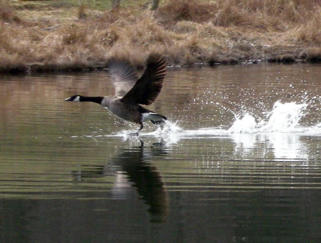flyinggoose.jpg