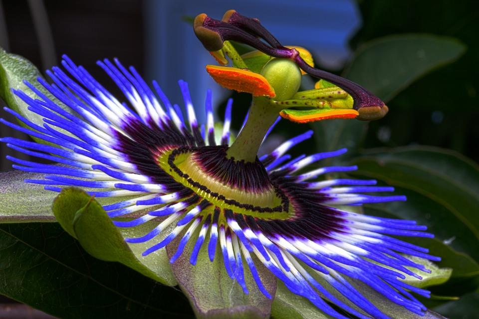 passion-flower-815176_960_720.jpg