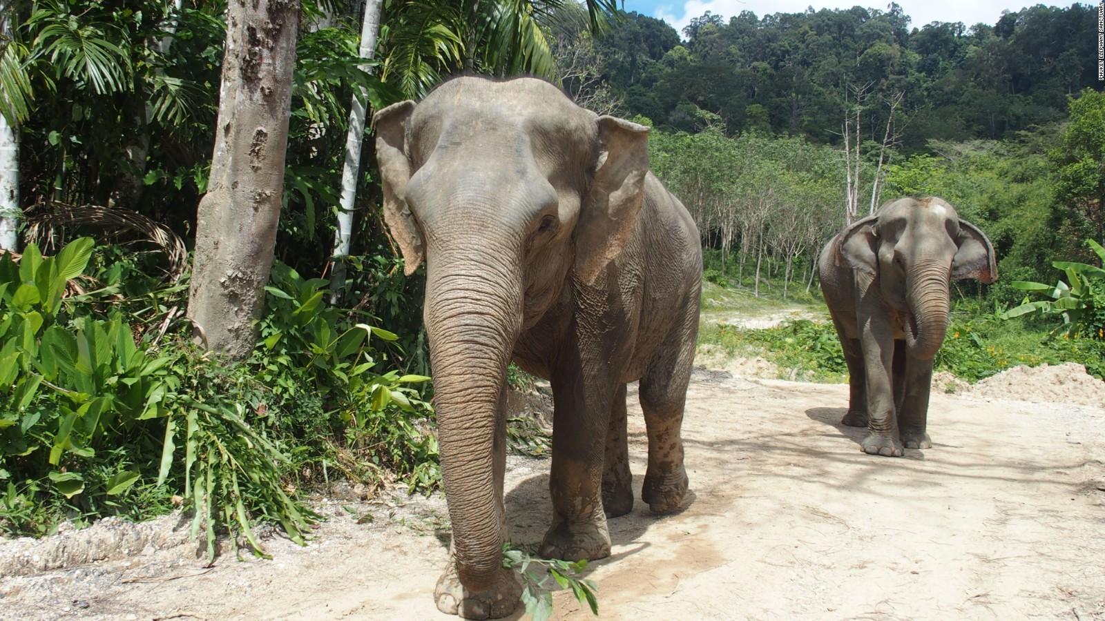 Elephants, Phuket Thailand